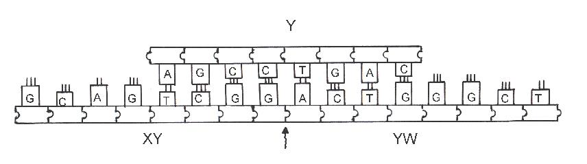 Modello di Adleman nei DNA Computing